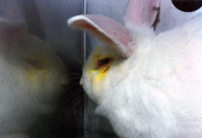 Rabbit-in-Lab-With-Yellow-Eyes