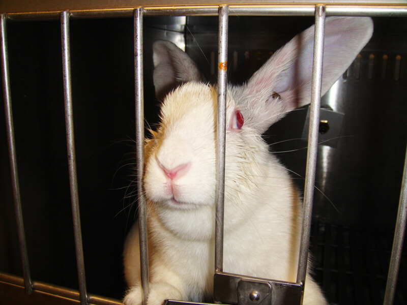 Heartbreaking What Life Is Like For Rabbits In Laboratories