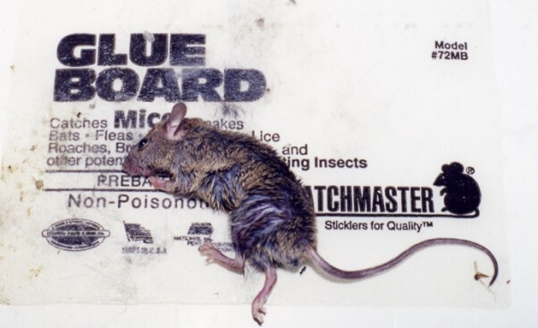 Mouse on Glue Trap