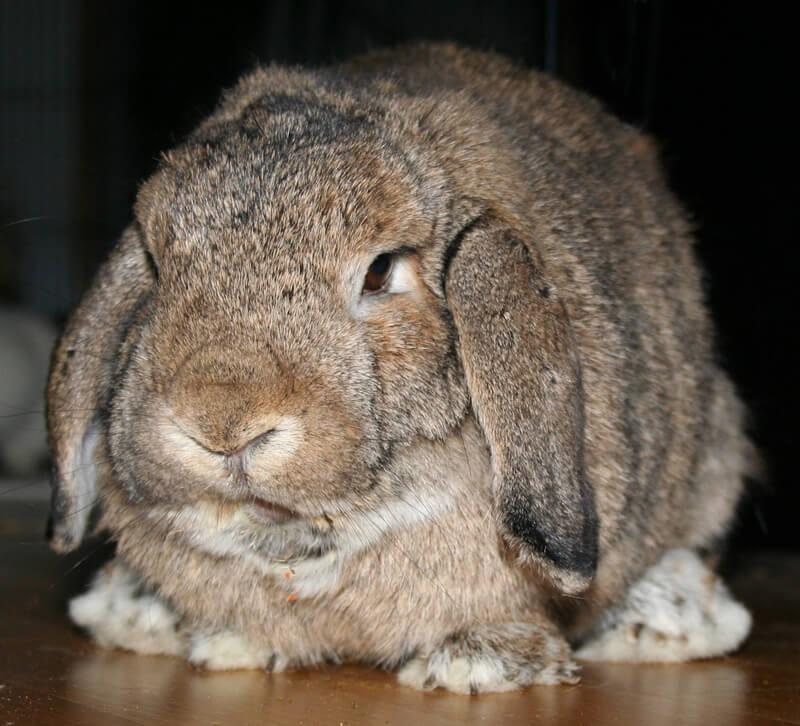 Big-Grumpy-Rabbit-Bunny