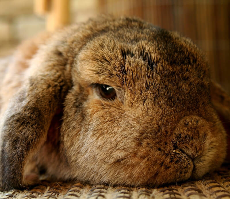 rabbits killed for experiments