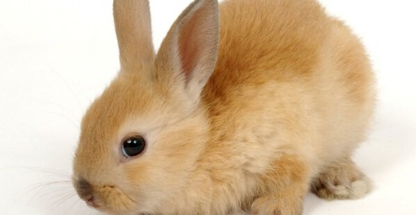 Cute-Red-Bunny