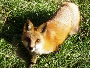 Fox-in-Grass