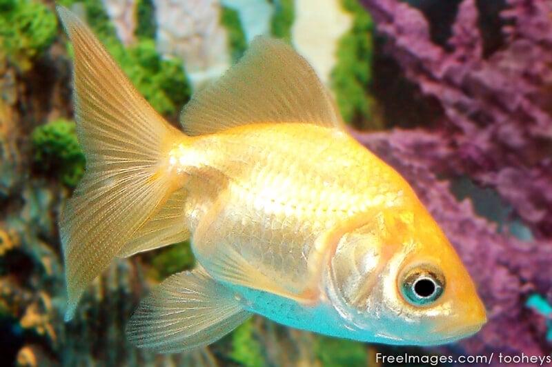 Gold-Fish-Companion-Animal