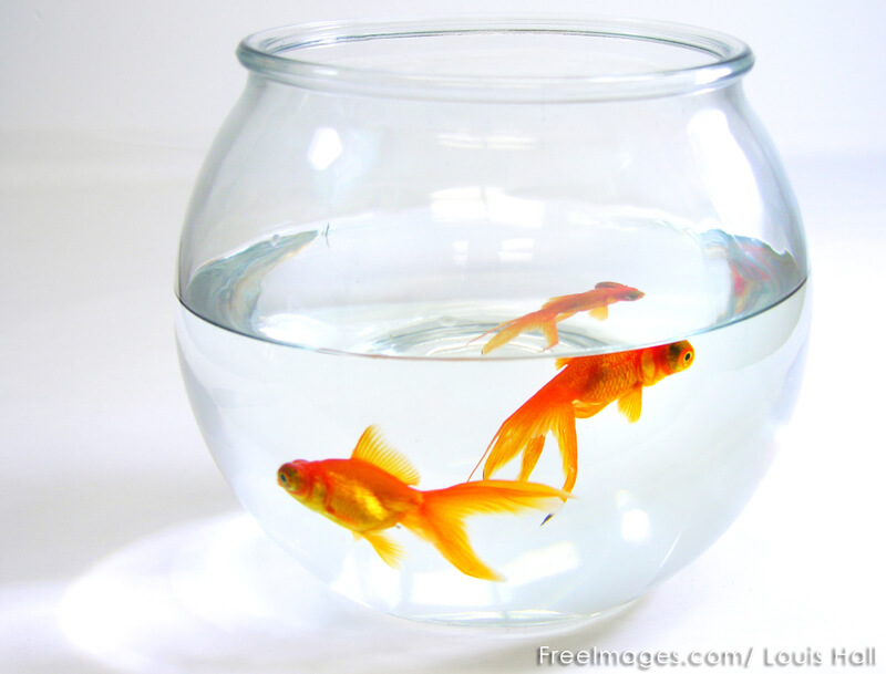 Gold-Fish-in-Bowl
