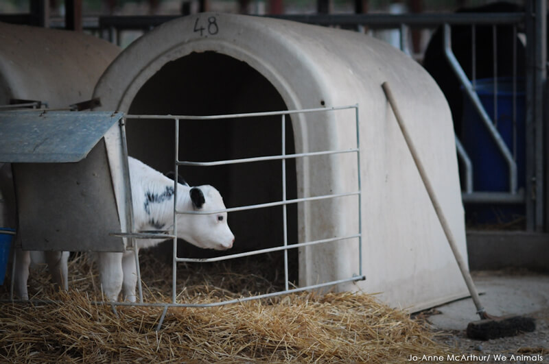 Male-Veal-Calf-Jo-Anne-McArthur-Smaller