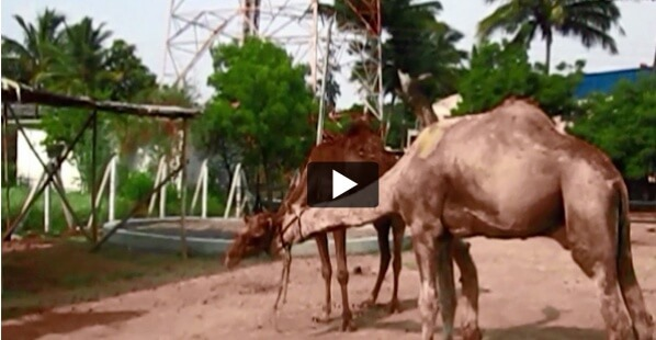 Rescued Camels Fall in Love