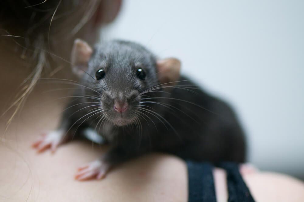 gray rat on girl's shoulder
