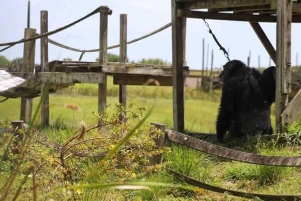 Iris save the chimps