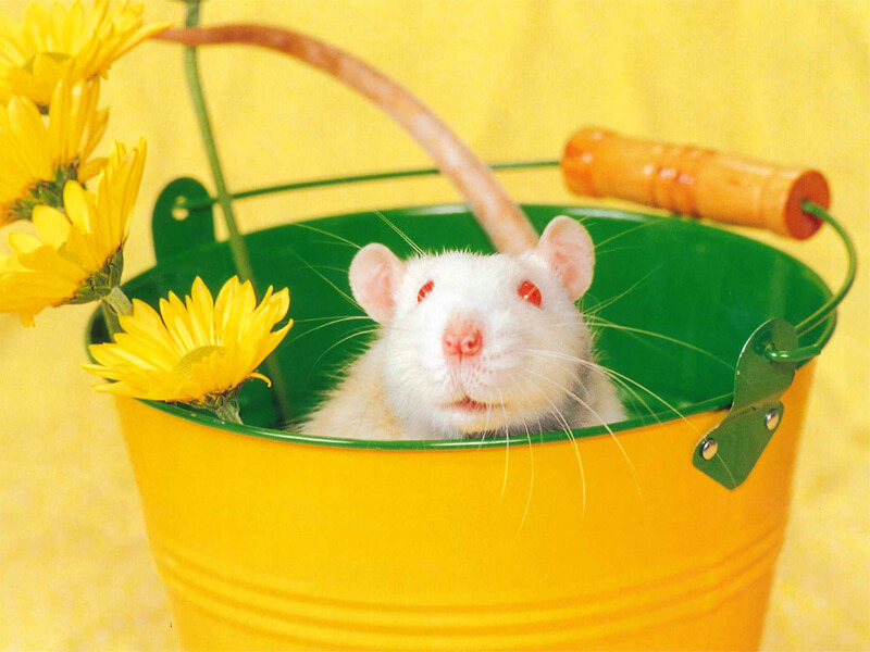 Jack-Rat
