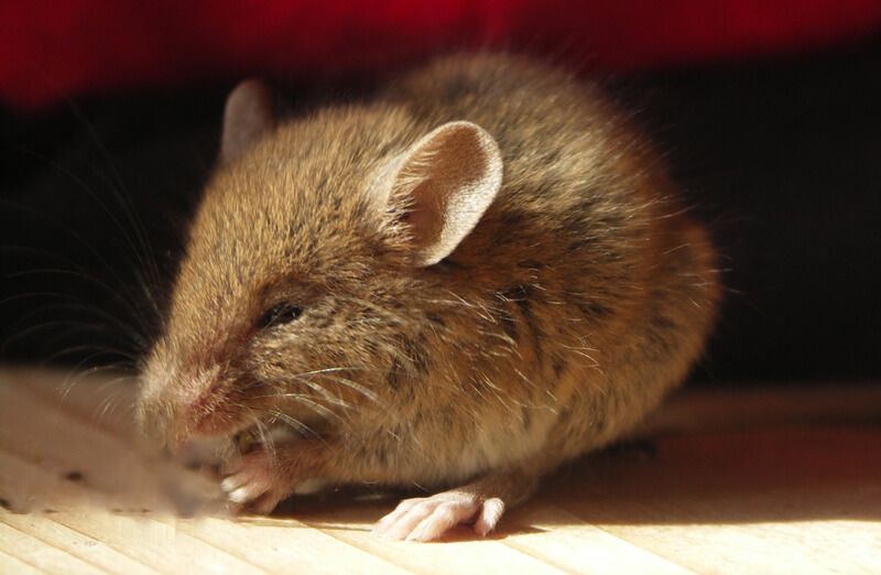 12 Fascinating Facts About Mice and Rats | Photos | PETA Kids