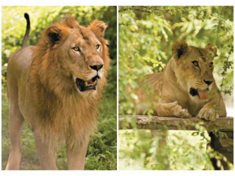 Rani-and-Shehenshah-lions