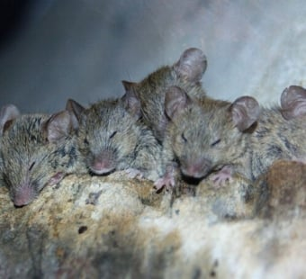 12 Fascinating Facts About Mice and Rats