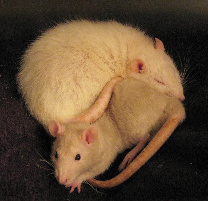Snuggling-Rats