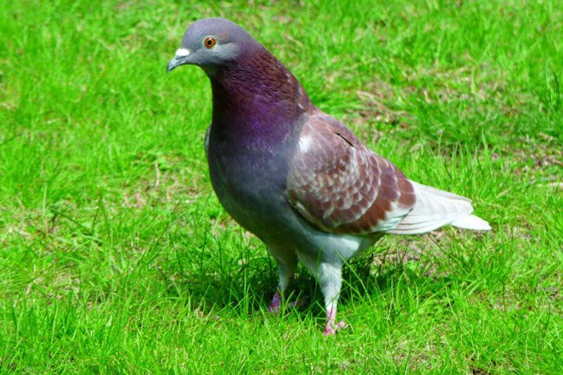 Teller-Pigeon
