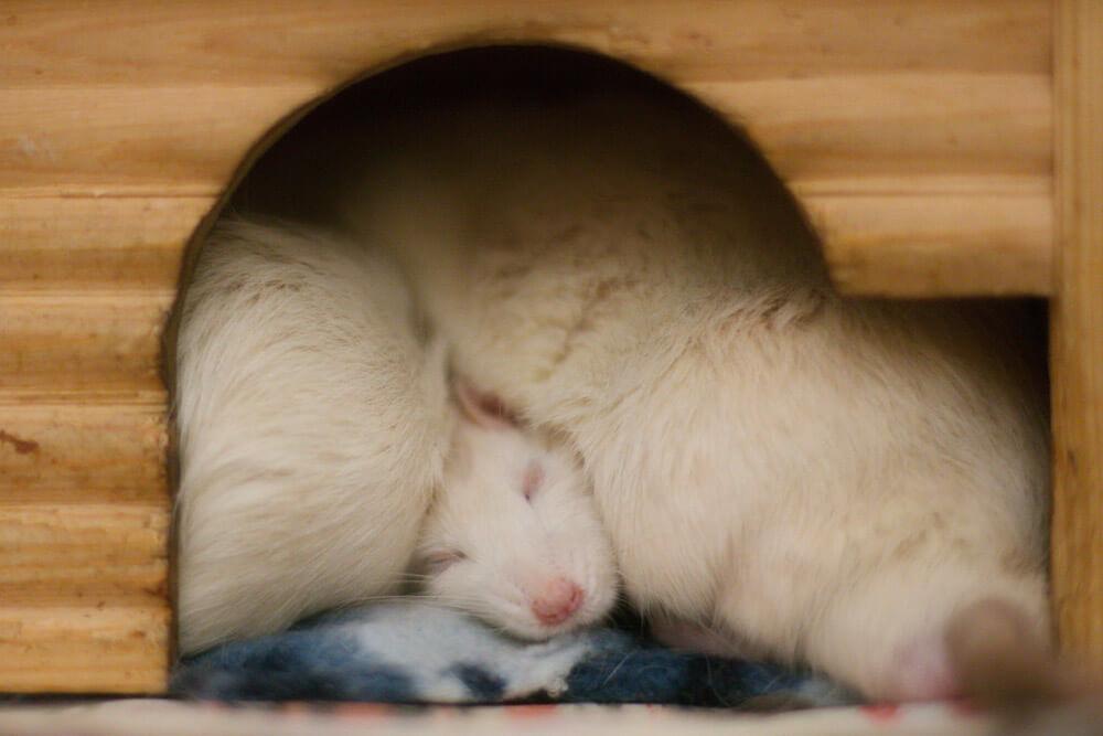 white rats sleeping