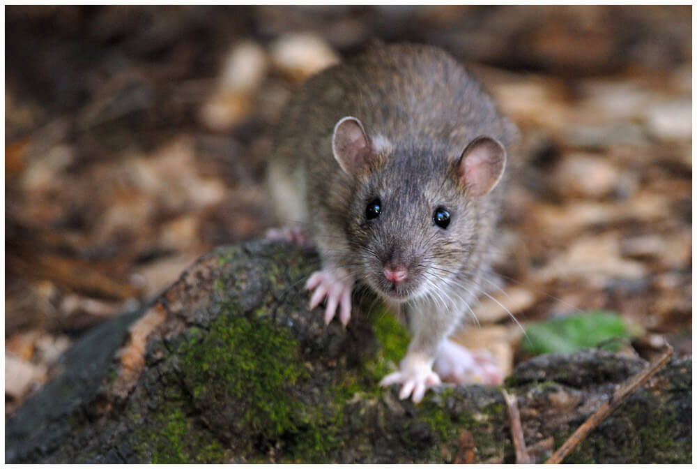 brown rat outside