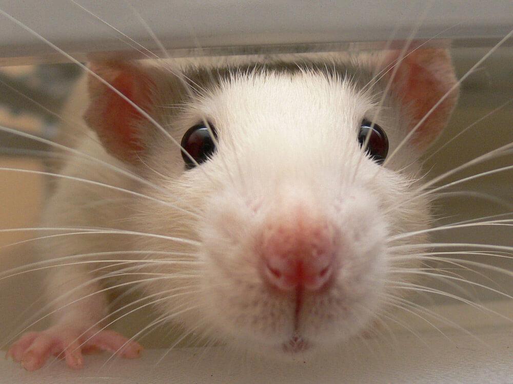 white rat up close