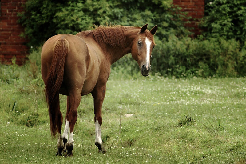 But even though they are large, strong animals, horses can be hurt very easily. So why do people ride them around tracks at dangerously high speeds whipping ...