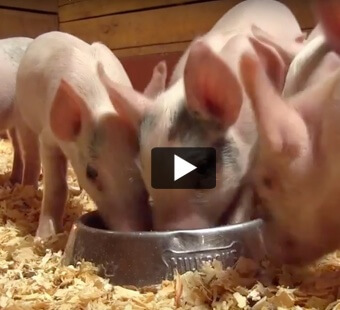Little Bitty Piggies Rescued From Neglect