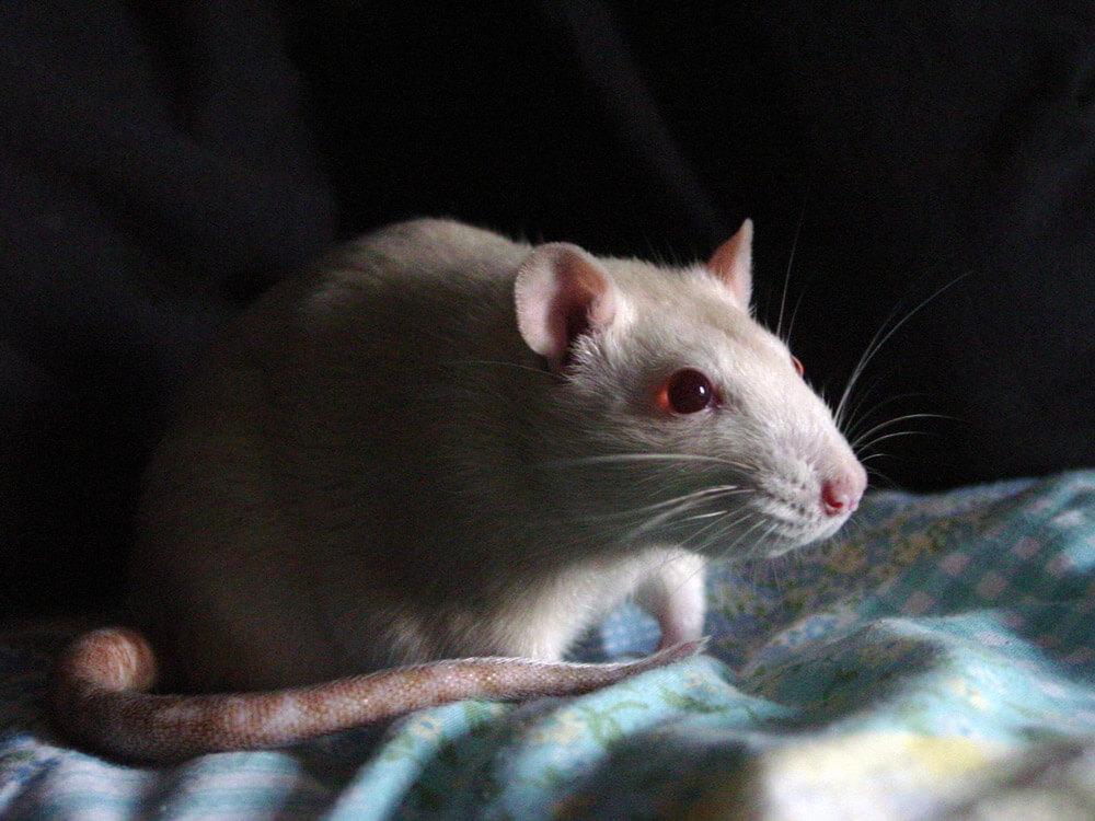 white rat indoors