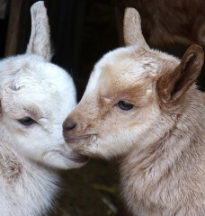 12 Reasons to Stay Away From Goat's Milk