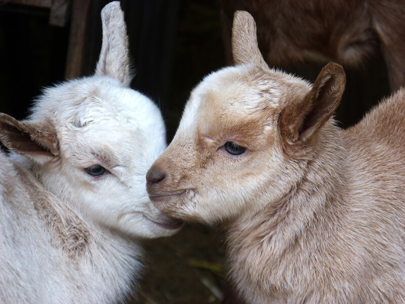 Baby-Goats