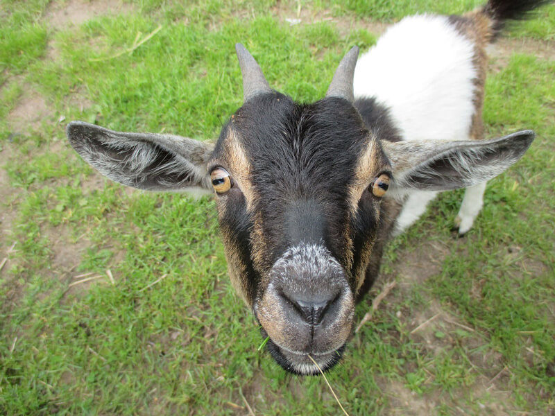 Goat-Face-Close-Up