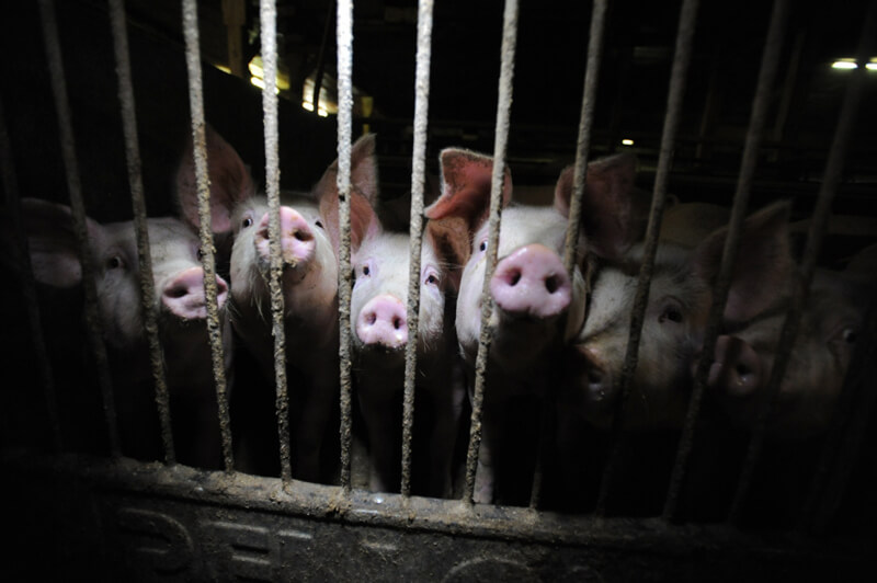 Pigs-in-Factory-Farm