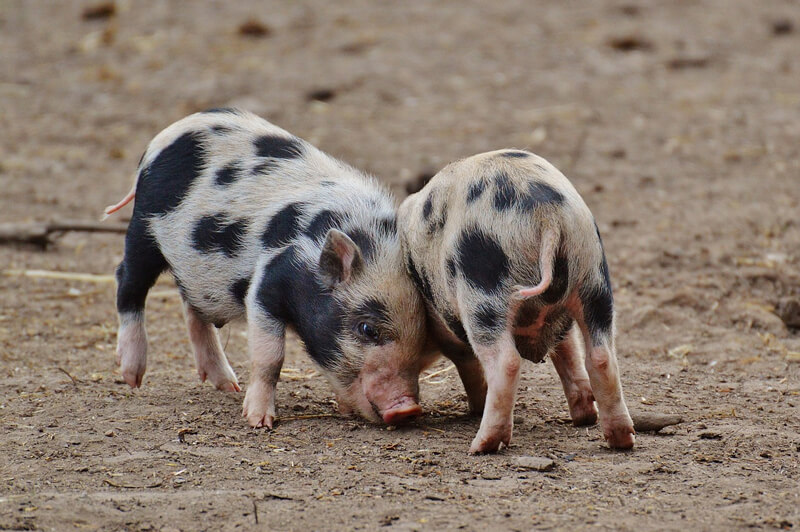 Playful-Baby-Pigs