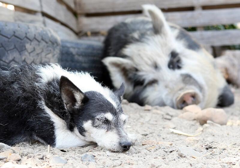 Sleeping-Pig-and-Dog
