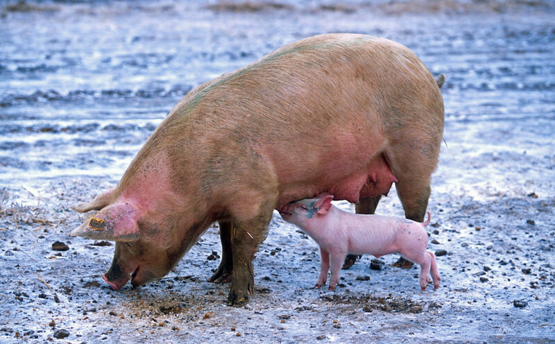 Sow-and-Piglet