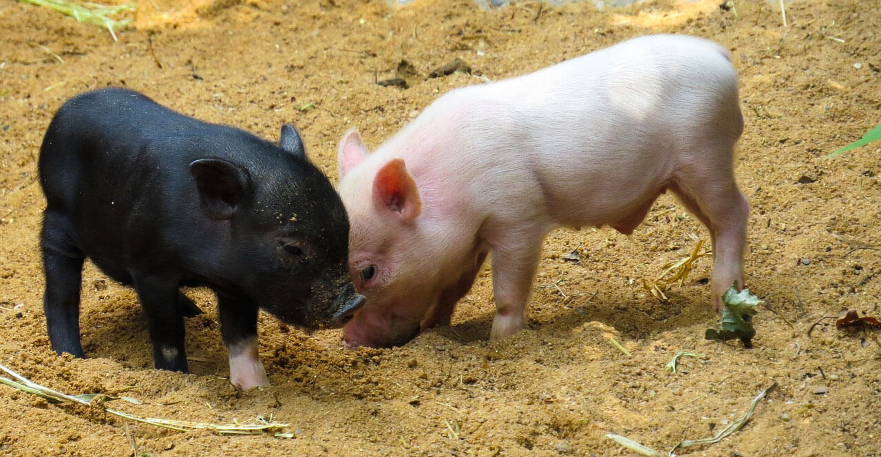 pigs animals used for food animal facts peta kids