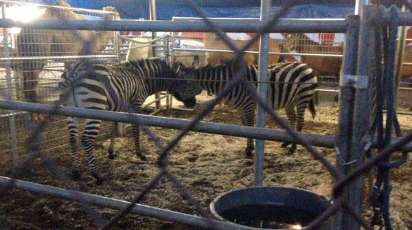 Fighting-Zebras