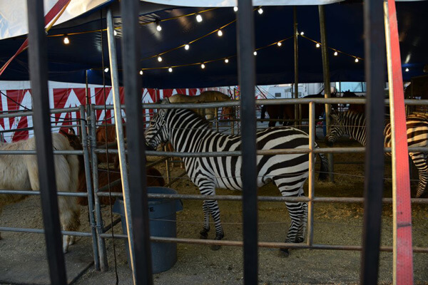 Zebra-In-Small-Cage 2