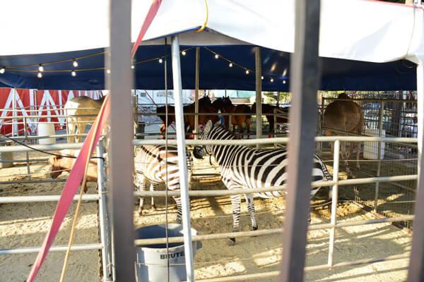 Zebras-In-Pen