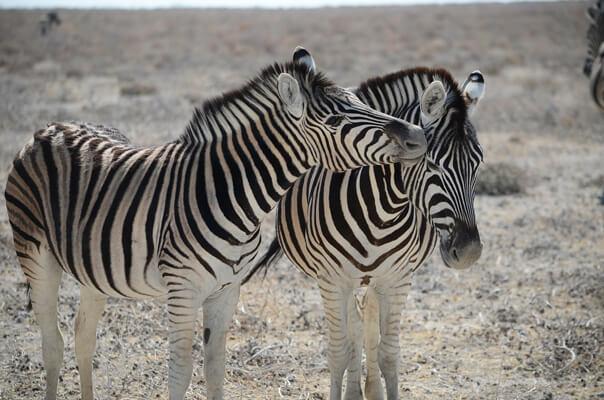 Zebras-in-Wild