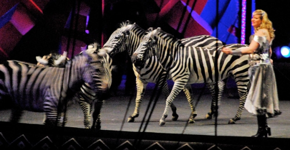 zebra in circus on stage