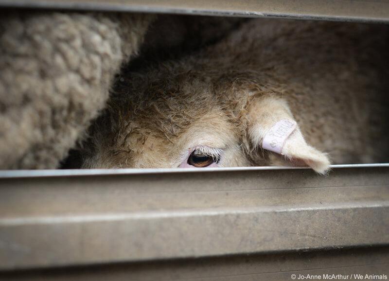 Cramped-Sheep