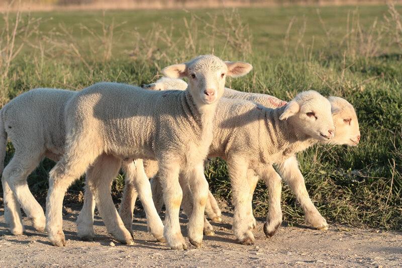 Lambs-Sheep