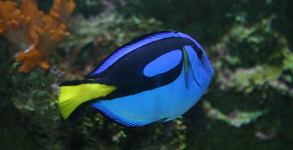regal tang fish finding dory