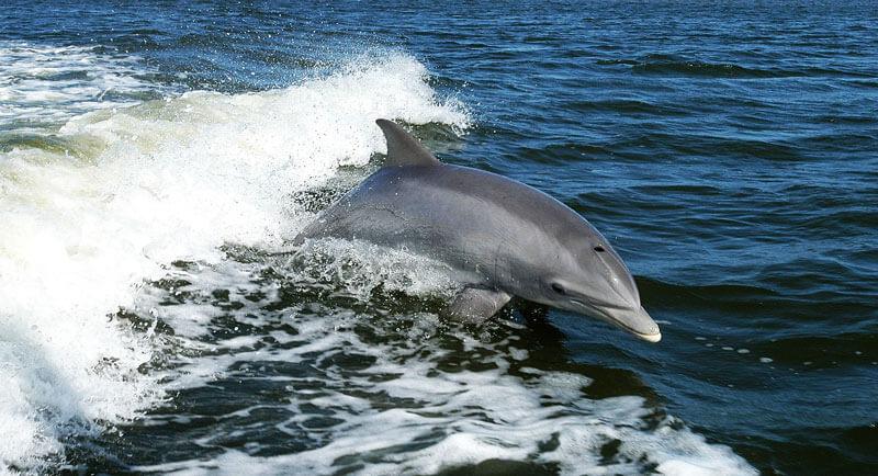 Dolphin-in-Ocean