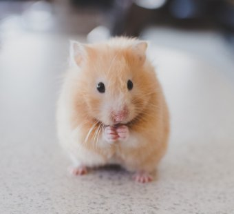 Consider This Before Getting a Hamster