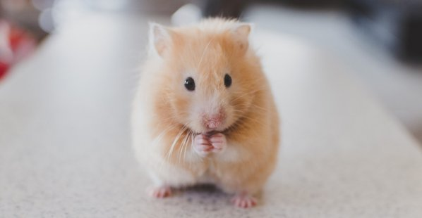 hamsters and gerbils sold as 'pets'