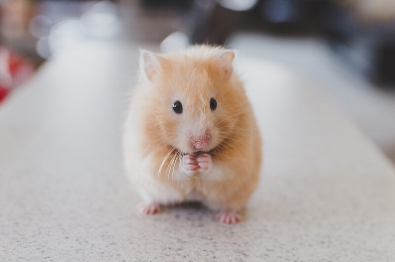 10 things to think about before getting a hamster save animals