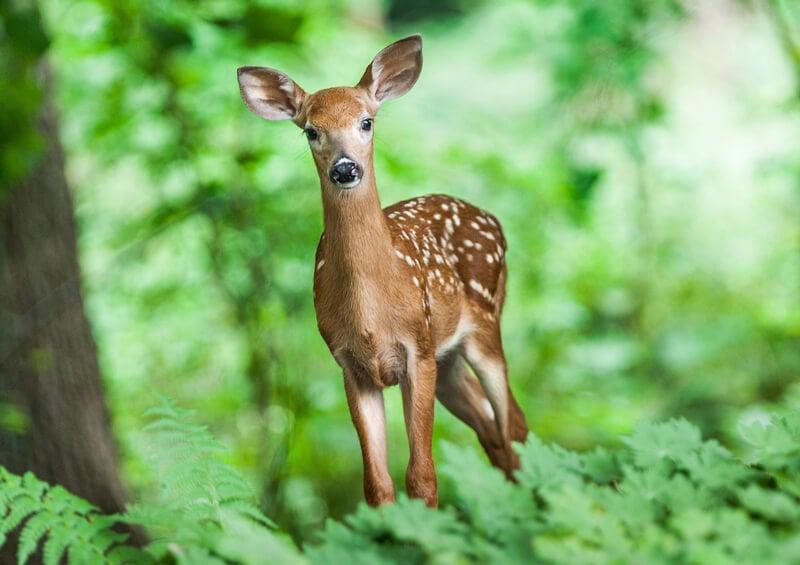 deer-in-woods