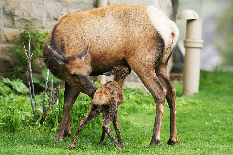 elk-mom-and-baby