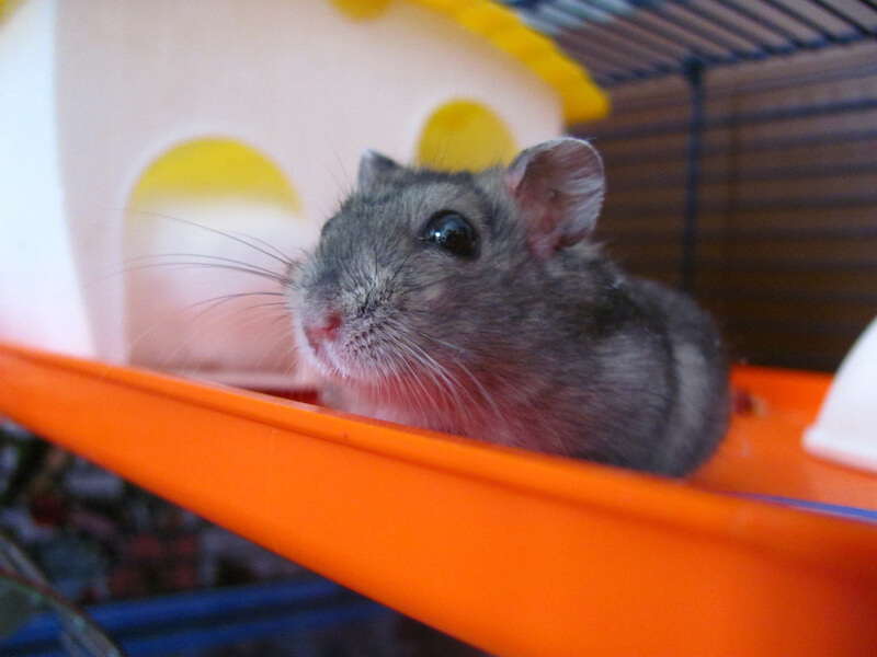 grey-hamster