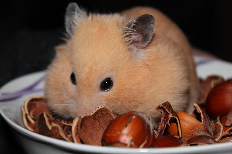 hamster-eating