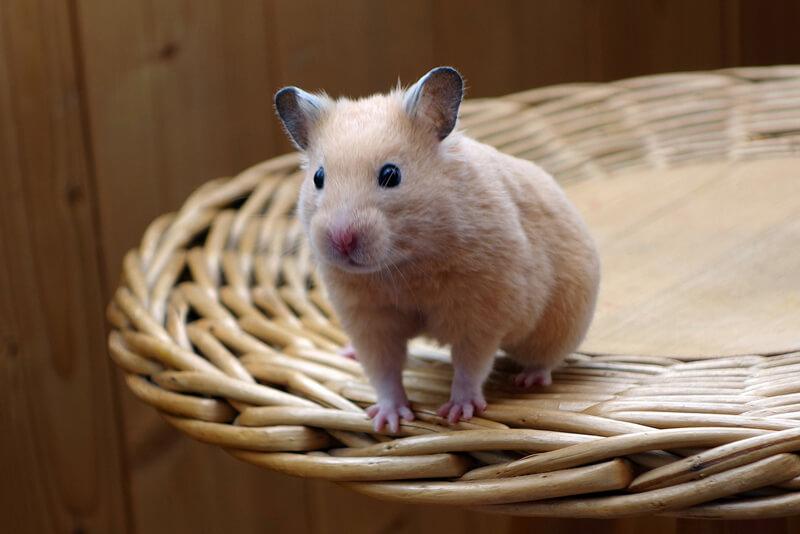 little-hamster